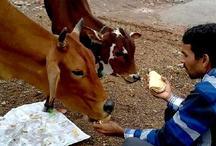 गाय को न खिलाएं ऐसी रोटी, वरना दुःख, गरीबी और विपत्ति में ही बीतेगा जीवन