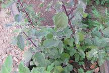 यदि घर में है 'तुलसी' का पौधा तो बरतें इन सावधानियों को, वरना हो सकते हैं 'कंगाल'