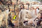 अविश्वसनीय: शेरनी ने गर्भवती हिरण के पेट से भ्रूण को निकाला और फिर किया ये सब
