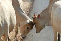 गोवा के सभी बीजेपी विधायक 15-15 गाय पालें: कांग्रेस