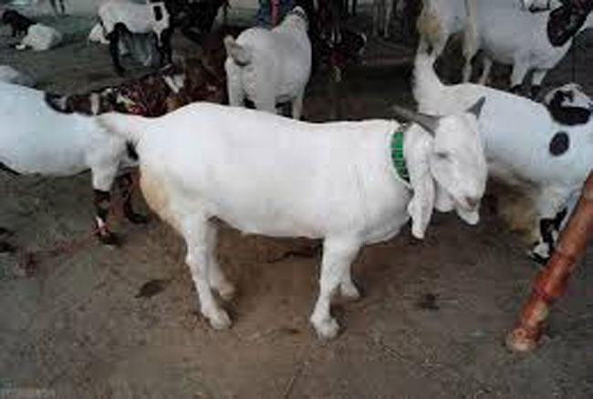 बकरीद मनाने का सबसे नायाब तरीका, बकरा कटा पर एक कतरा खून नहीं बहा