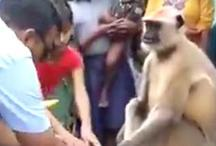 VIDEO: हनुमान का अवतार है ये बंदर, है राम रहीम जैसों से ही कहीं बेहतर