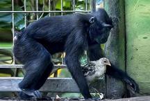 VIDEO: जय और वीरू की तरह हैं इस बंदर और मुर्गी की दोस्ती