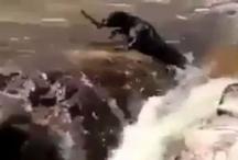 VIDEO: बाढ़ में बह रहे कुत्ते को दुसरे कुत्ते ने ऐसे बचाया कि लोग देखते रह गए