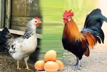 गजब ! मेल फीमेल के मेल के बगैर पैदा होगा चूजा वाला अंडा