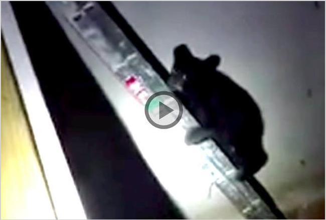 OMG! भालू ने लोहे की सीढ़ी पर चढ़कर बचाई अपनी जान, देखें वीडियो