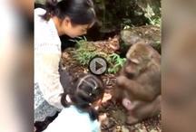 VIDEO: महिला खीला रही थी बंदर को चने, बंदर ने जड़ दिया थप्पड़