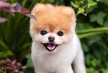 दिल टूटने से हुई दुनिया के सबसे प्यारे कुत्ते 'बू' की मौत